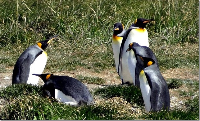 King_Penguins_DSC00998