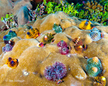 Brightly colored christmas tree worms (Spirobranchus spp.) delicately filter feed from their home in a Porites spp. coral colony on Enderbury Island. Photo: Jim Stringer
