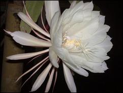bunga-wijaya-kusuma