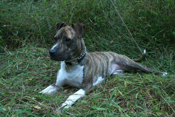 thor-pit-bull-terrier