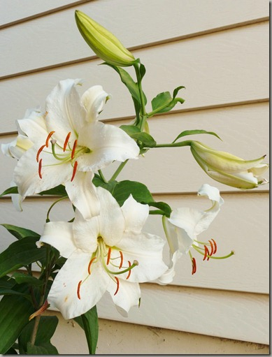 lilies 001