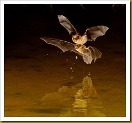 Little Brown Bat - two Flying_ROT5168  NIKON D3S September 17, 2011