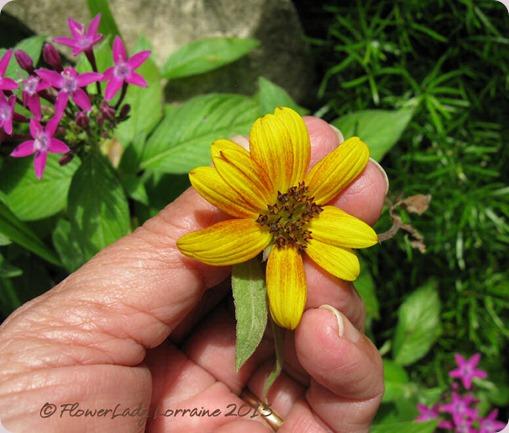 06-09-sunflower3