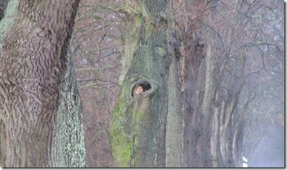 Waldkauz im Astloch