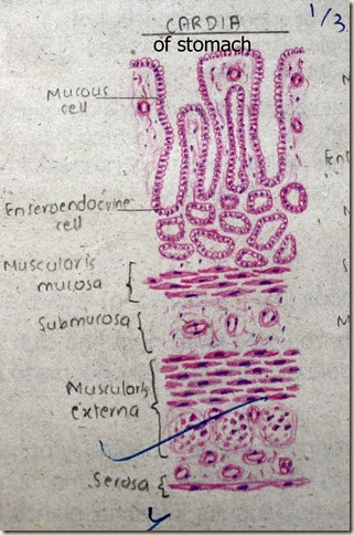 Cardia of stomach high resolution histology diagram