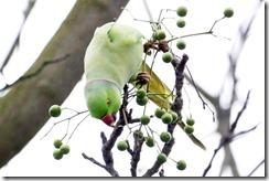paris 2012 parrots in parc montsouris 010913 00003