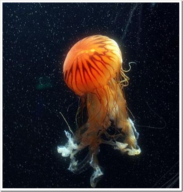 animales-marinos-las-medusas-de-mar-13961