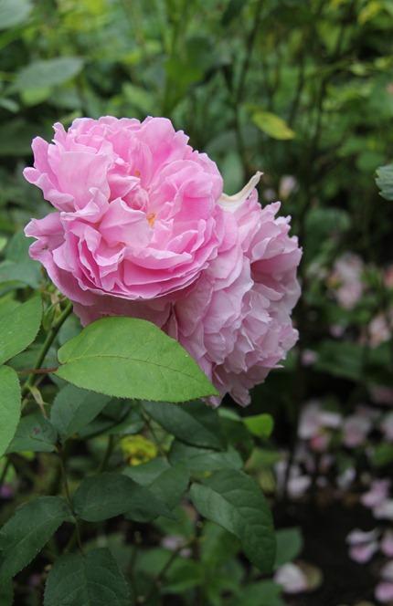Hidcote garden (25)