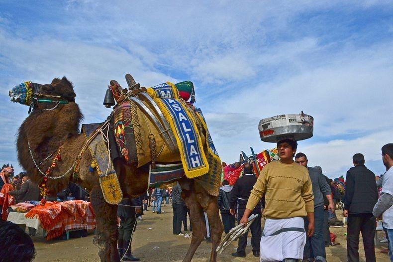 camel-wrestling-4