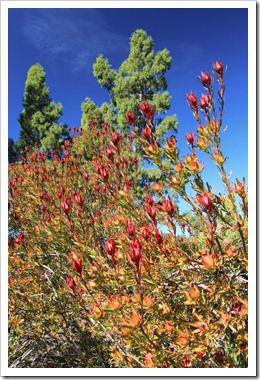 121027_UCSCArboretum_Leucadendron-salignum-Rising-Sun_02