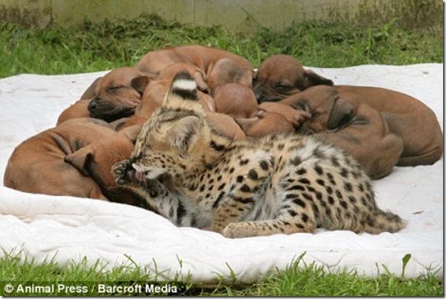 9 Hewan Berbeda Jenis yang Menjadi Sahabat Sejati_kucing-tutul-dan-anjing