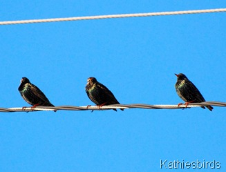 5. starlings-kab