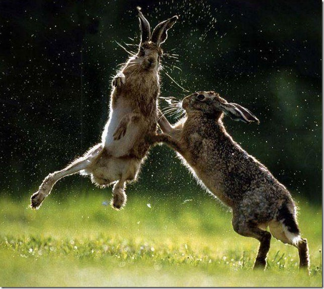rabbit-fighting-rabbit