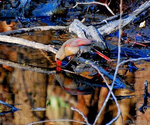 9. drinking cardinal-kab