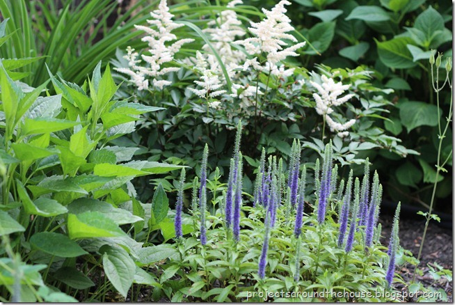 astilibe veronica royal candles