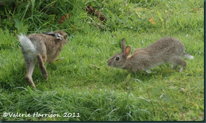 hare-and-rabbit-1