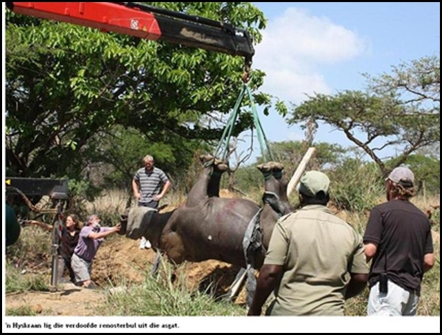 RHINO FIGHT ENDS UP WITH ONE BEING HOISTED FROM RUBBISH TIP WITRIVIER THE LOWVELDER
