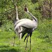 White-naped Cranes