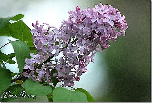 Lilacs_Of_Spring4
