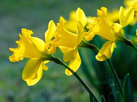 Daffodils 001