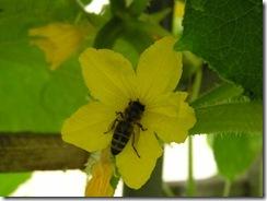 včely na květu a matečniky 174