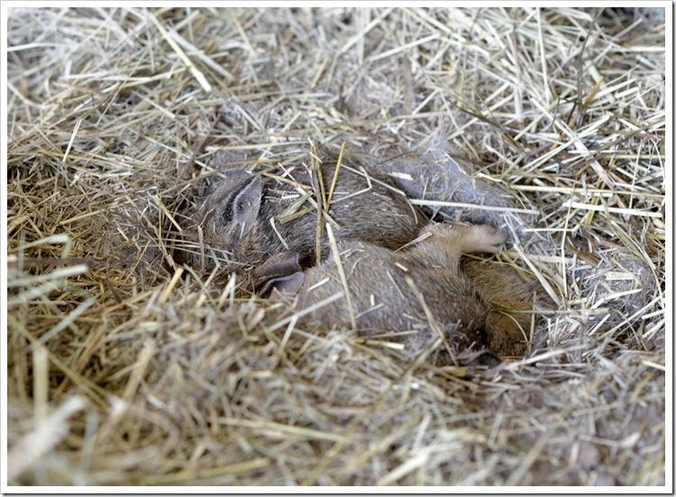 spring -baby rabbits 034 FB