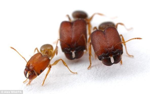 hormigas-super-soldado