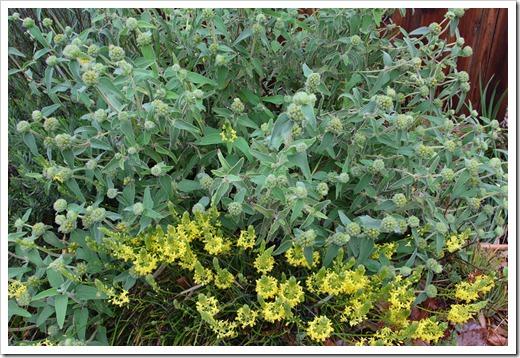 120330_Bulbine-frutescens- -Phlomis-fruticosa