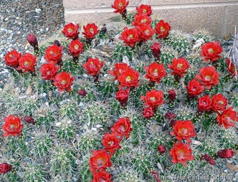 Montezuma Castle Cactus Flowers