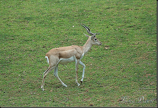 Safari_Blackbuck_Male