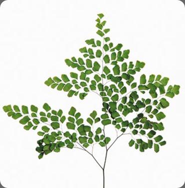 dried fern_adianthum_med_pre_lg
