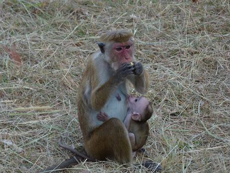 Maimute Sri Lanka: toate maimutele mancand