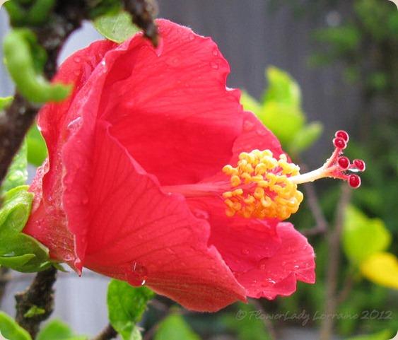 07-06-hibiscus2