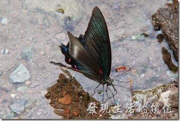 拜訪金鱗湖時,有隻蝴蝶一直依戀於湖邊不走,不時飛舞翅膀停在湖邊喝水,完全不怕人來人往的遊客。