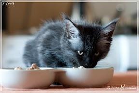 Фото история котят мейн кун в возрасте 7,5 недель 22
