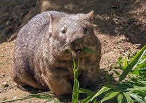 Amazing Pictures of Animals, Photo, Nature, Incredibel, Funny, Zoo, Common wombat, Vombatus ursinus, Marsupial, Mammals, Alex (14)
