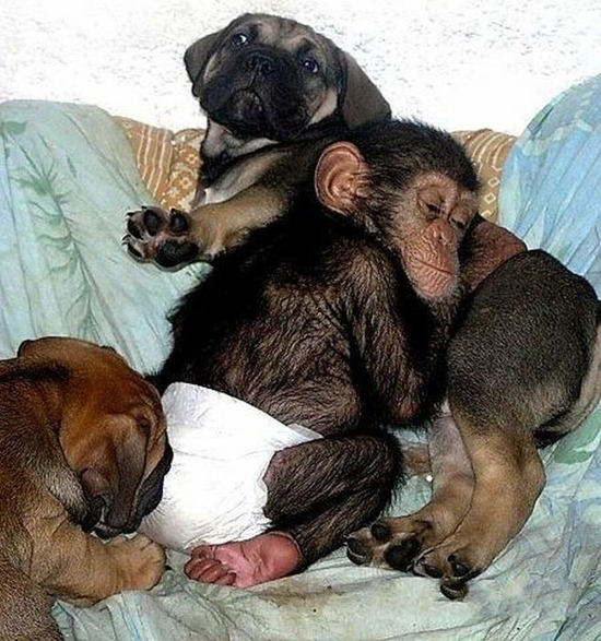 Chimpanzee Adopted By a Mastiff 011
