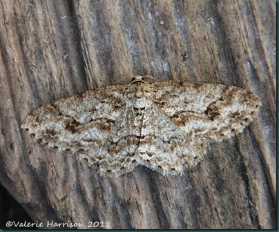 The-Engrailed