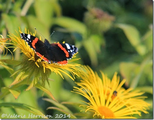 25-red-admiral