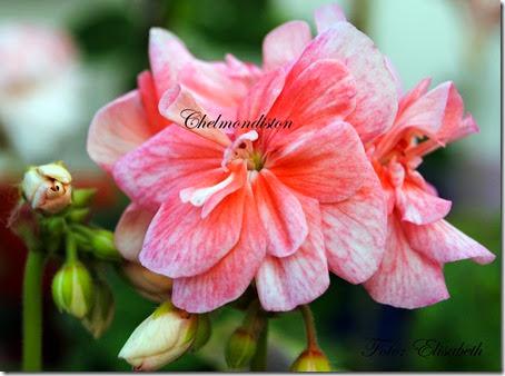 Pelargonium 16 juni -14 042