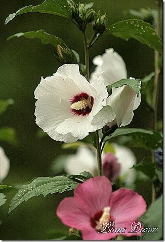 Hibiscus_Colors