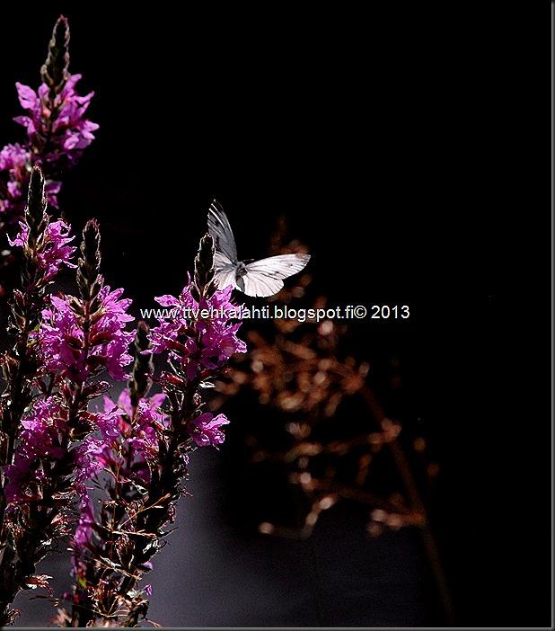 perhosia 075