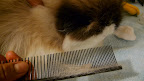It's the comb! - but Verdi doesn't seem to mind.
