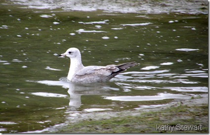 Young Mew Gull