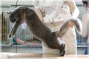Международная выставка кошек WCF «Невский талисман», 15-16 мая 2010 Санкт-Петербург.