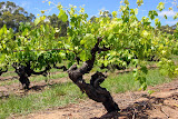 Beautiful Old Grape Vines Make For Amazing Wine - Adelaide, Australia