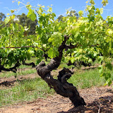 Beautiful Old Grape Vines Make For Amazing Wine - Adelaide, Australia