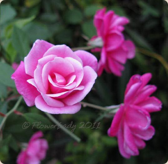 12-02-old-blush