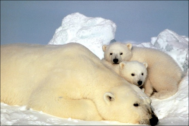 A mother polar bear with two cubs. Photo: Steve Amstrup / U.S. Fish and Wild Life Service / AP Photo