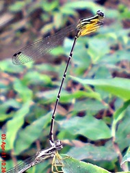 damselfly mating_capung jarum kawin 6